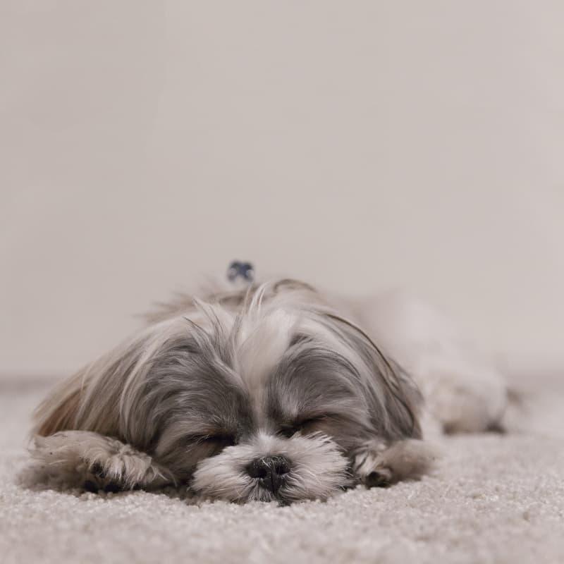 Slowest small dog breed Shih Tzu