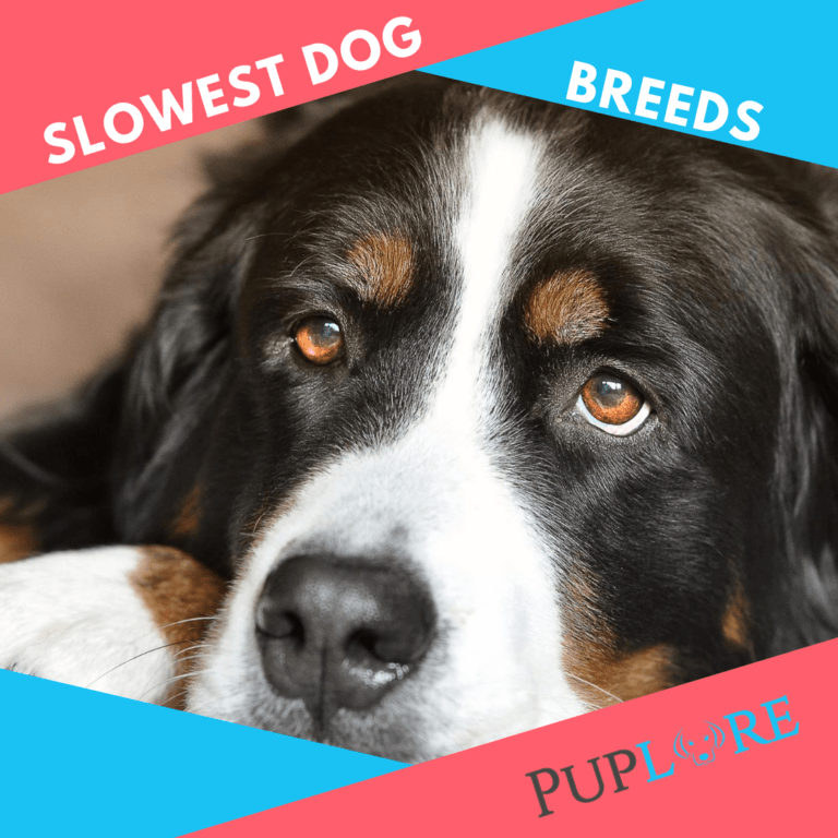 30 Slowest Dog Breeds in the World (They Never Hurry!)
