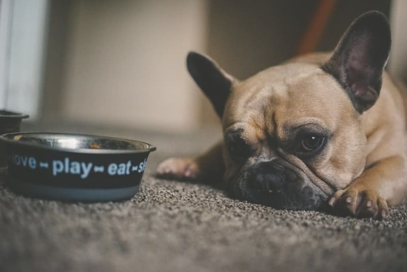 Small dog laying by their dog bowl