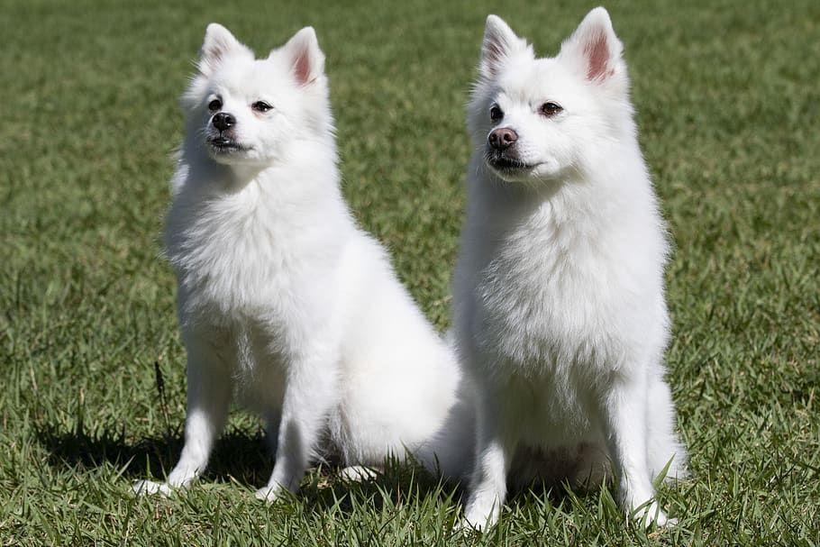 Male vs. Female American Eskimo Dog