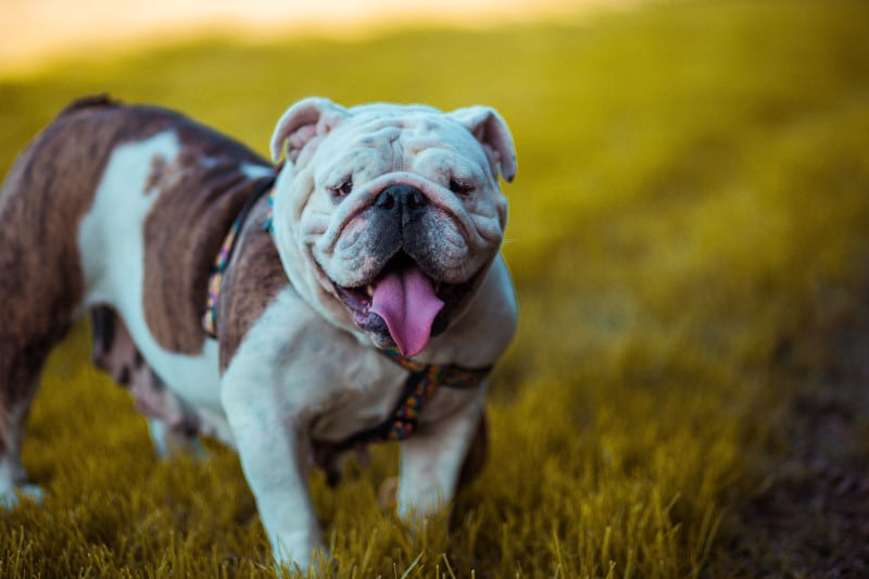 Adorable American Bulldog is the strongest small dog pound for pound