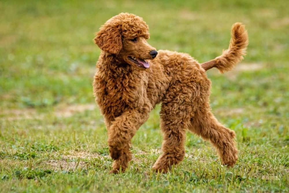 A slow Toy Poodle