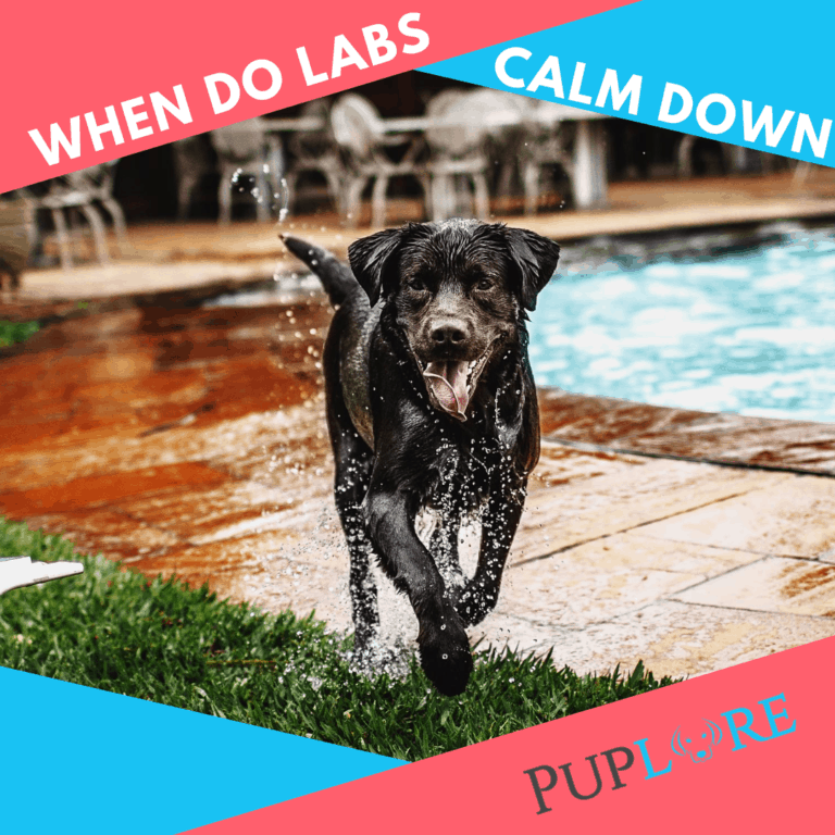 When Do Labs Calm Down? [Hang In There, They Will]