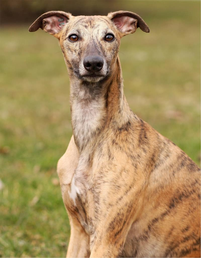 Whippet is the fastest medium-sized dog breed