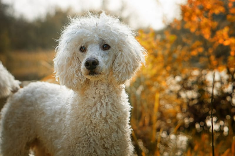 Running fast is what Poodles do