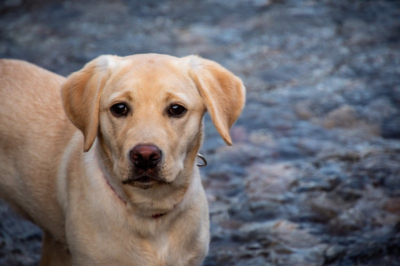Young yellow lab